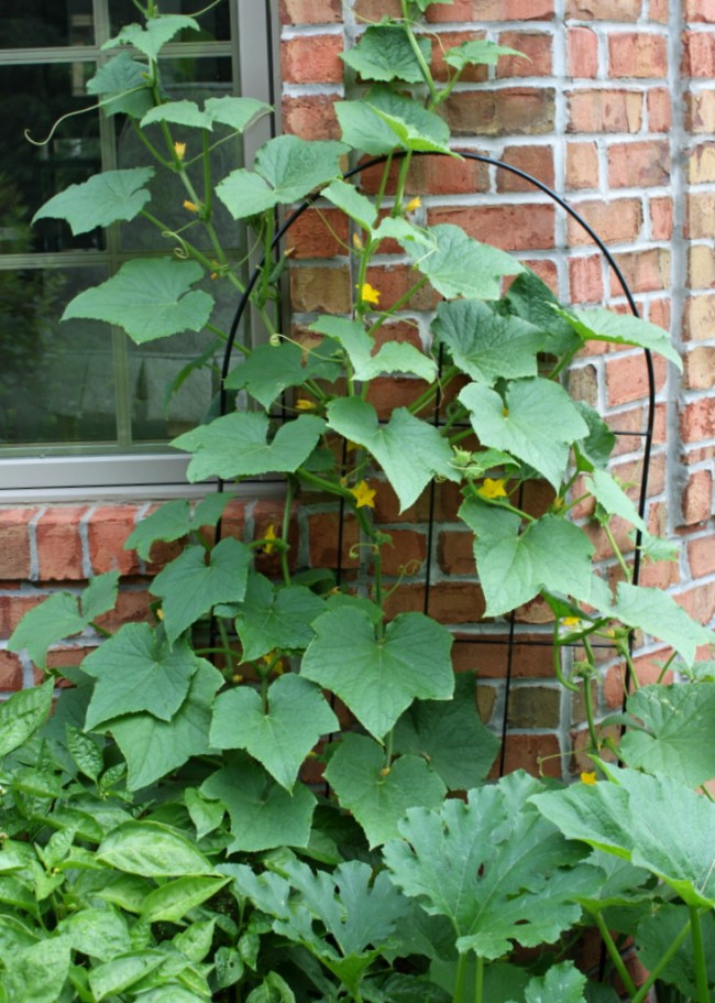 Small space gardening grow cucumbers on a trellis oh my creative - Garden small space minimalist ...
