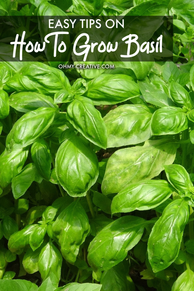 How To Grow Basil And Use It In Recipes